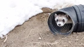 HAR Black Footed Ferrets.m4v